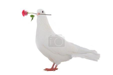 Photo pour Pigeon blanc avec une rose sur fond blanc - image libre de droit