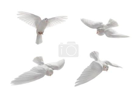 White pigeons in flight