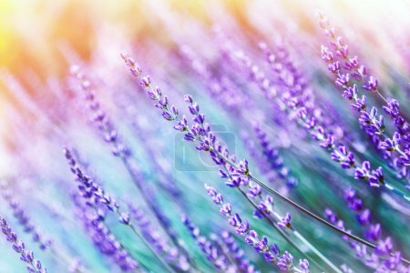 Photo for Closeup photo of beautiful gentle lavender flower field, abstract purple floral background, aromatic plant, beauty of spring nature - Royalty Free Image