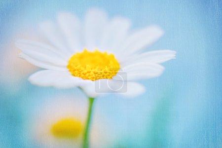 Photo pour Gros plan photo d'une belle fleur de marguerite blanche fraîche sur fond de ciel bleu, beauté de la nature printanière, dof peu profond, papier peint texturé floral - image libre de droit