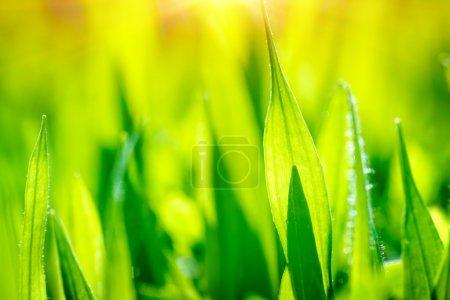 Photo pour Champ d'herbe verte fraîche, abstrait naturel, papier peint floral, verdure de l'heure d'été, nature du matin - image libre de droit