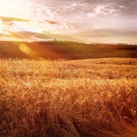 Foto de Hermoso campo de trigo de otoño en la luz del atardecer brillante, mañana en tierras agrícolas de Toscana, temporada de cosecha otoñal, concepto de producción de pan, Italia - Imagen libre de derechos