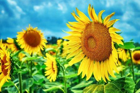 Photo pour Beau champ de tournesols, grandes fleurs jaunes sur fond de ciel bleu, saison des récoltes d'automne, beauté de la nature de la Toscane, Italie, Europe - image libre de droit