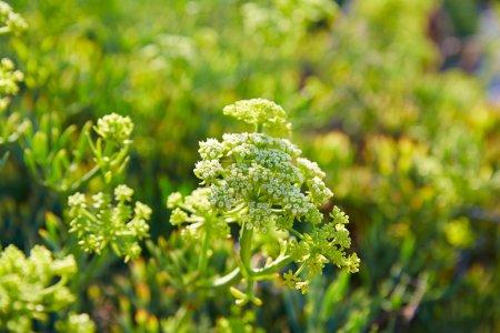 Samphire Crithmum maritimum plant Spain