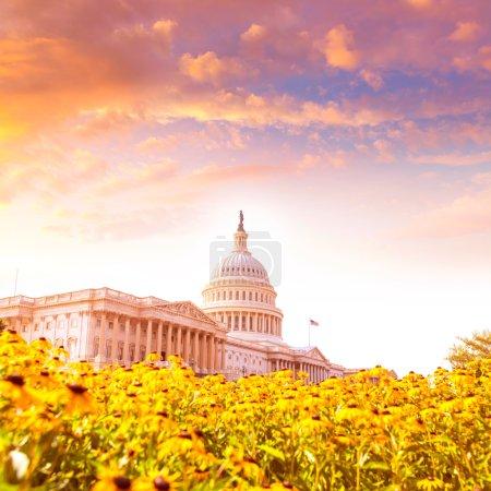 Photo pour Capitole bâtiment Washington DC jaune marguerite fleurs USA congrès gazon prairie US - image libre de droit