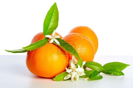 Photo pour Oranges avec des fleurs d'oranger au printemps sur fond blanc - image libre de droit