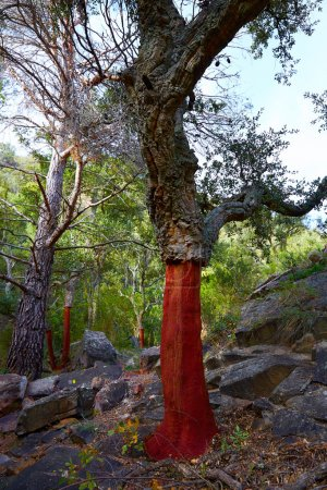 Castellon alcornocal in Sierra Espadan cork trees