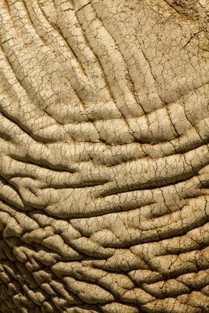 Skin texture of an African Elephant