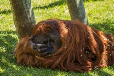 Photo pour Close up view of a relaxing orang-utan great ape on the shade. - image libre de droit