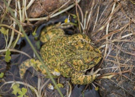natterjack toad (Epidalea calamita) in nature