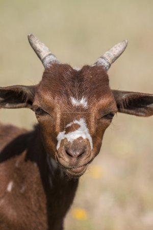 head of brown goat in the countryside