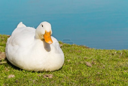 White goose sitting on green grass