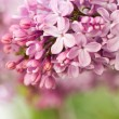 Close-up view of blooming lilac flowers in botanic...