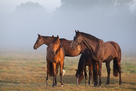 horses on foggy pasture