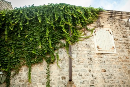 White stone wall with window covered in green ivy