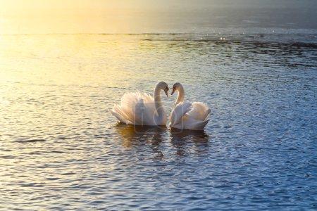 Photo pour Une image de deux cygnes formant un cœur au coucher du soleil - image libre de droit