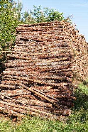 Pine tree trunks cut
