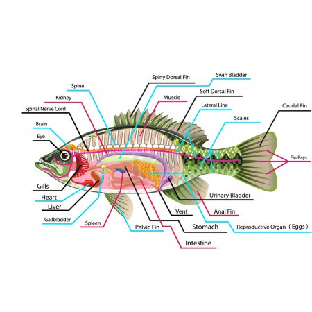 Fish internal organs Vector Art diagram Anatomy wi...