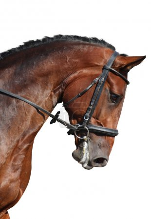 Brown sport horse portrait isolated on white
