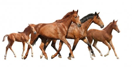 Two brown horses and two little foals family running free