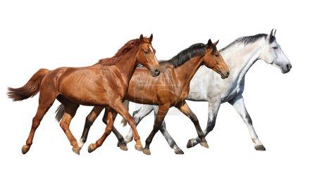 Photo pour Troupeau de beaux chevaux sauvages en cours d'exécution libre, sur fond blanc - image libre de droit