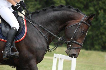 Black horse portrait during competition