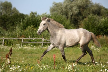 Beautiful gray andalusian colt (young horse) trotting free