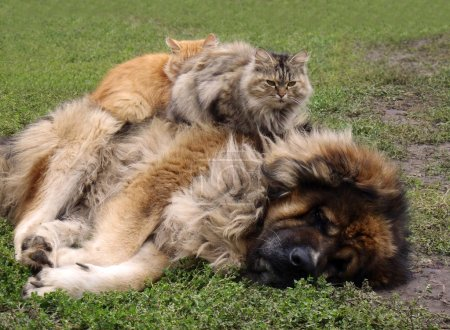 Friendship of animals. The Caucasian sheep-dog with two cats.