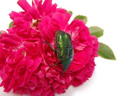 May-bug on a rose, macro.