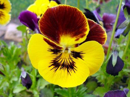 Multi-colored pansies (viol) close up.