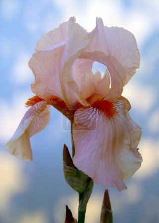 Peach bearded iris on a light background close up.