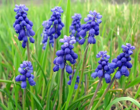 Muscari - spring bulbous flowers close up.
