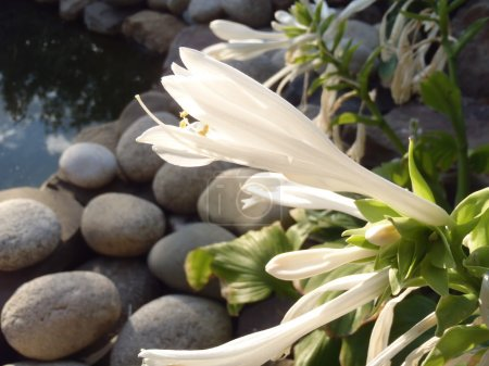 The blossoming hosta against a decorative pond in a garden.