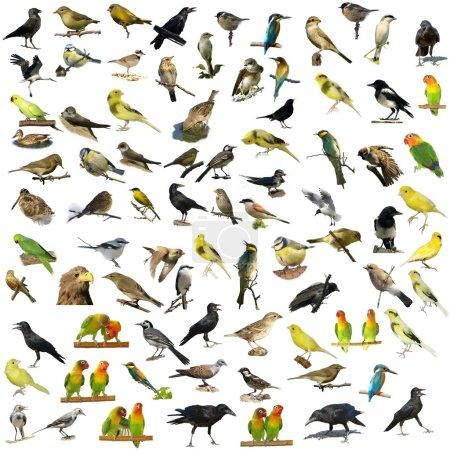 Set of 81  birds isolated on white background