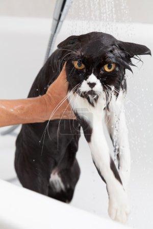 Photo pour Bain/douche pour un chat de race persan - image libre de droit