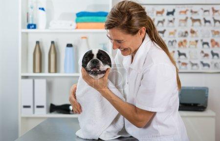 French Bulldog in hairdressing