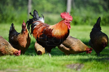 Rooster and chickens on traditional free range poultry farm