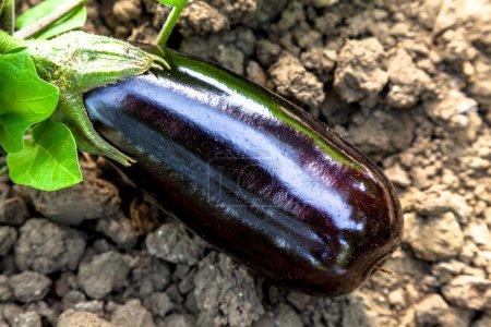 One beautiful Eggplants