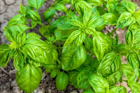 Photo for Green basil leaves, healthy food background - Royalty Free Image