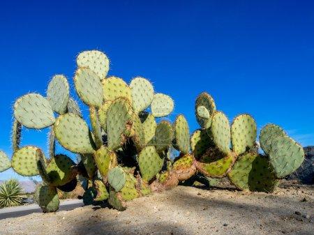 Various cactus varieties from north American locales