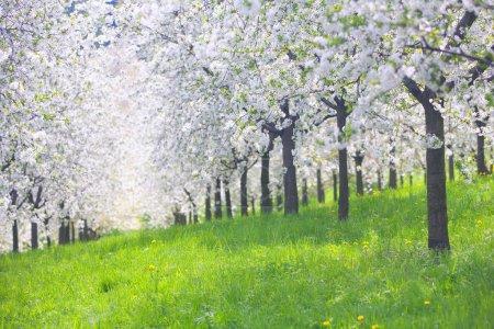 Photo pour Verger de pommiers en fleurs avec des pissenlits jaunes au printemps sous un soleil éclatant - image libre de droit