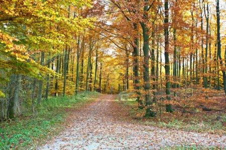 Photo for Ravnsholt Skov forest in Alleroed Denmark in autumn - Royalty Free Image