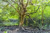 Beautiful old trees in the swamp area in Koh Chang