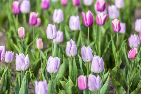 Tulips in Pink and Violet