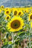 Slunečnicová pole v přírodě