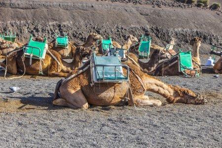 Photo pour Les chameaux du parc national de Timanfaya attendent les touristes pour une visite guidée - image libre de droit