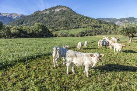 Photo pour Vaches broutant à l'alpage dans les Alpes près de Seyne - image libre de droit