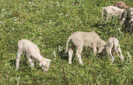 Photo pour Troupeau de moutons dans un pâturage vert suggérant des animaux de ferme biologiques ensoleillés - image libre de droit