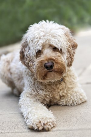 Shaggy Spoodle Dog