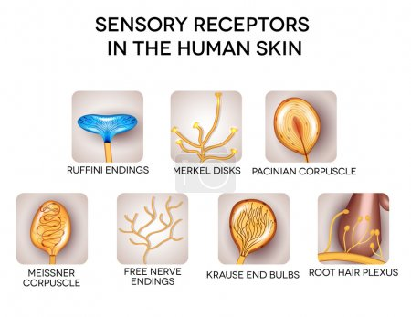 Sensory receptors in the human skin, detailed illustrations.